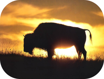 Buffalo silhouette in the sunset